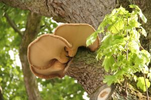 Dryad's Saddle or Pheasant Back Mushroom on a sycamore in Brancepeth