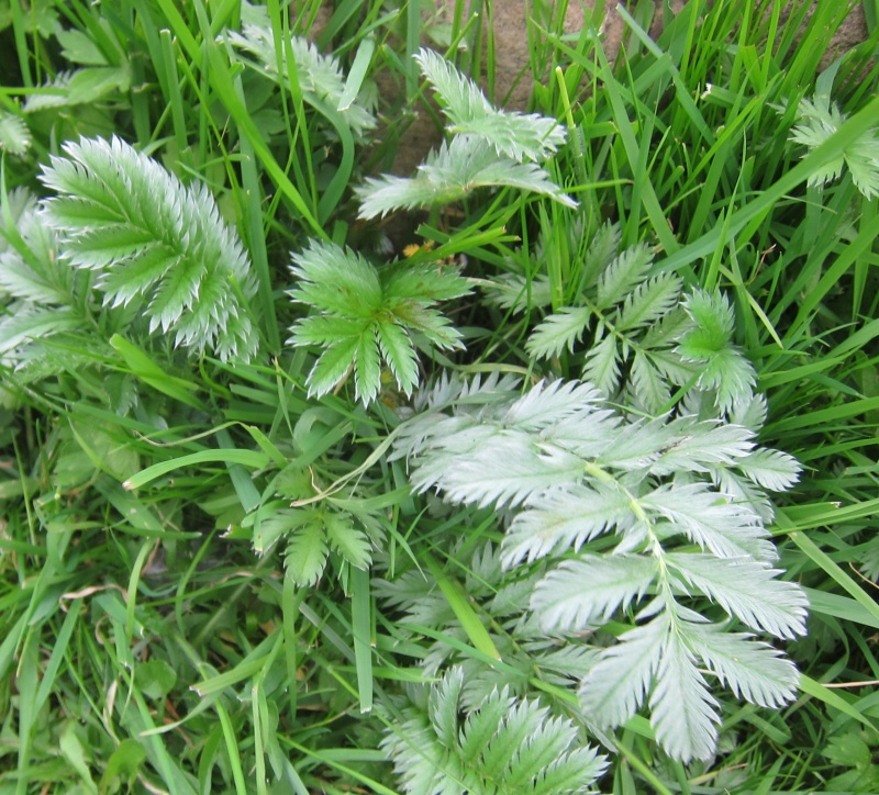 Not Meadowsweet