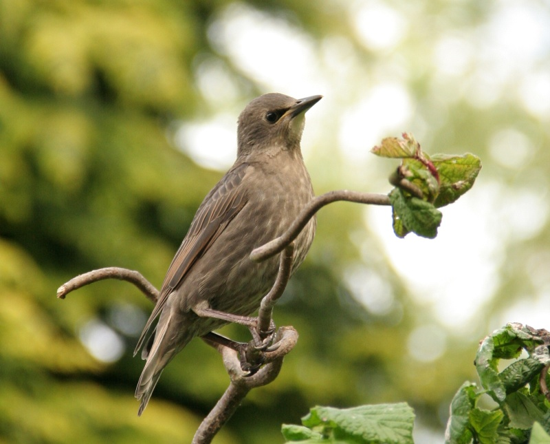 Starling on hazel