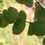 Healthy leaves thinking of autumn