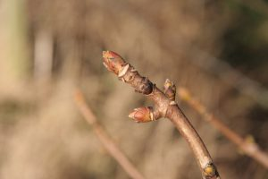 reddish buds on a sycamore