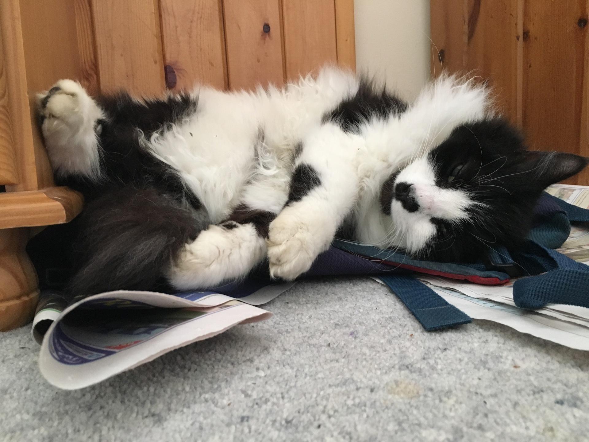 Durham Home – Felis silvestris (domestic cat) 'Mr Mittens' — Mon 03 Apr 2017 09-23-20 BST — 2202758216