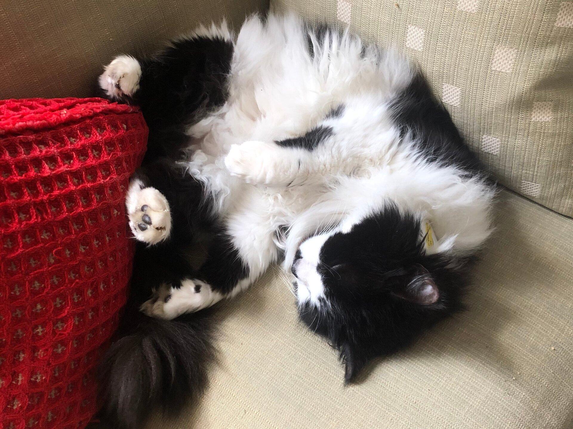 Felis silvestris (domestic cat) 'Mr Mittens' – Durham Home — Thu 04 Apr 2019 13-00-30 BST — 3084357769