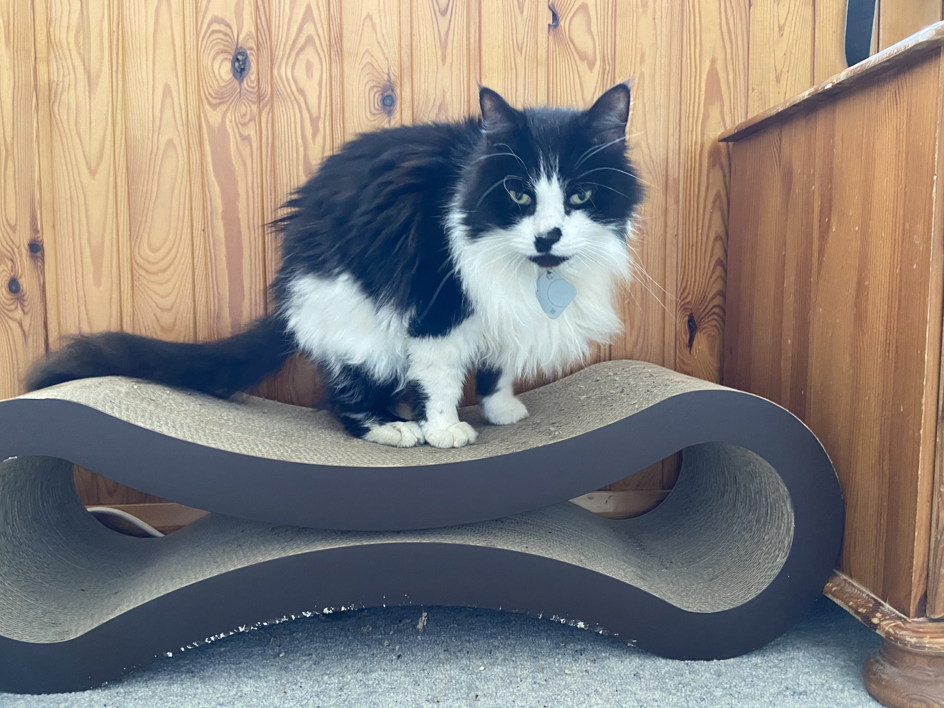 Felis silvestris (domestic cat) 'Mr Mittens' – Durham Home — Tue 31 Mar 2020 11-27-53 BST — 655441836