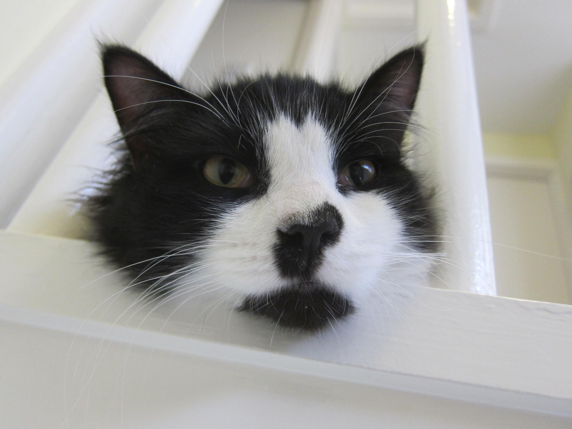 Felis silvestris (domestic cat) 'Mr Mittens' – Nov 2011