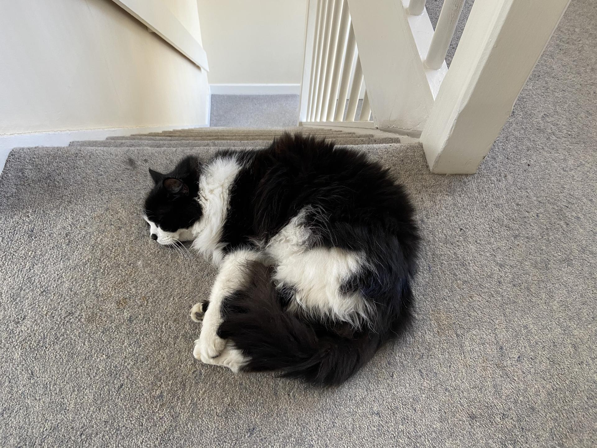 Felis silvestris (domestic cat) 'Mr Mittens' – guarding the stair – Mar 2020