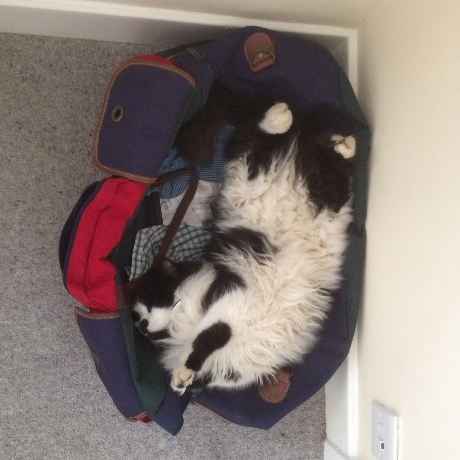 Felis silvestris (domestic cat) 'Mr Mittens' – Feb 2016