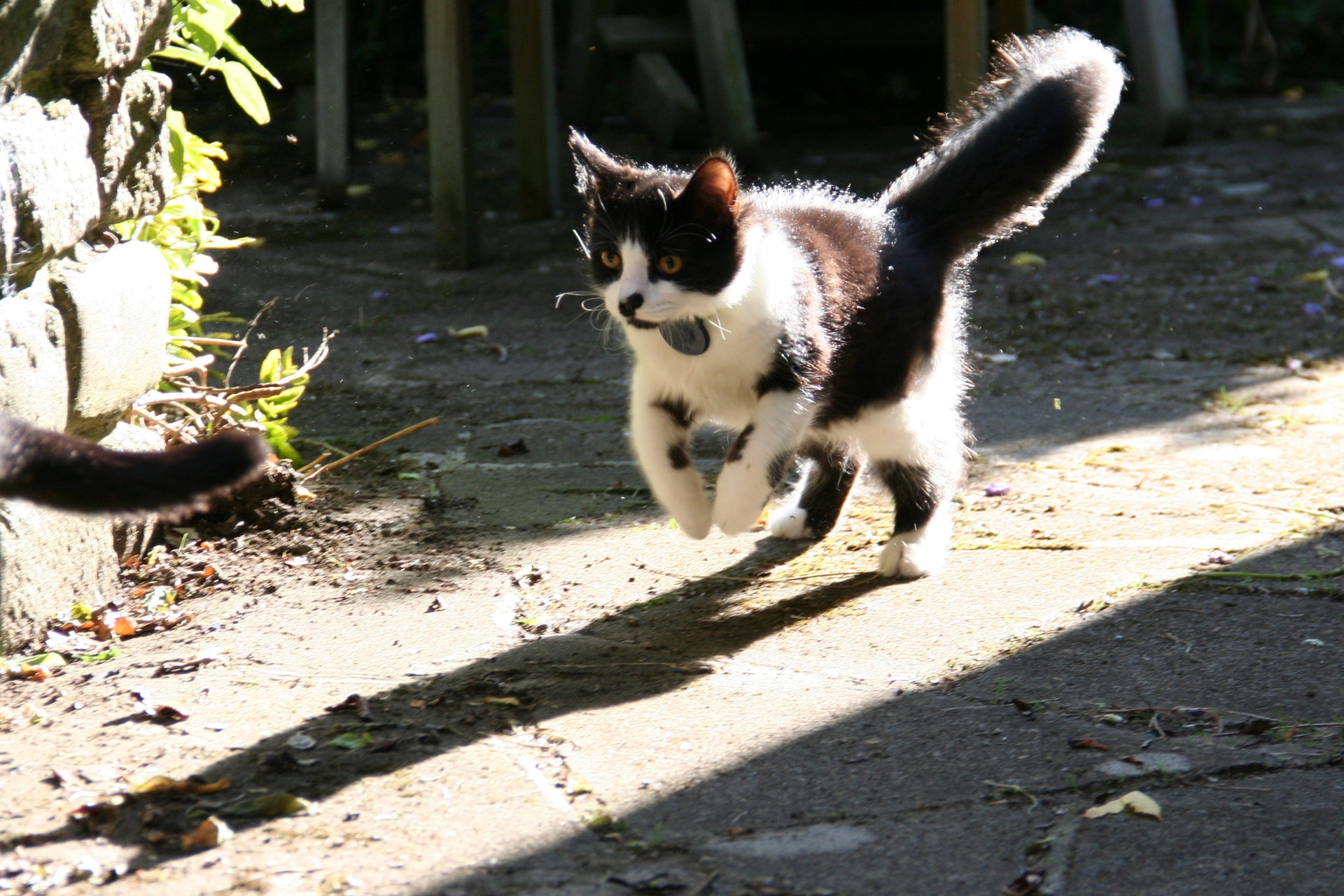 Mr Mittens chasing a very interesting tail in 2011