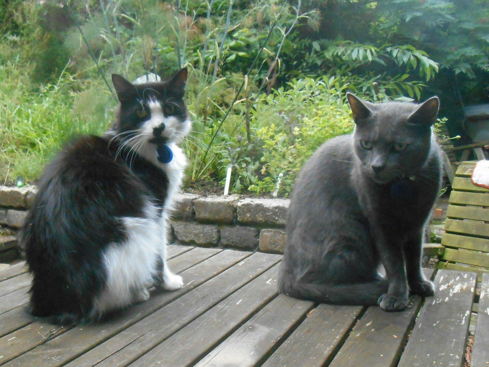 Felis silvestris (domestic cat) 'Willow'
